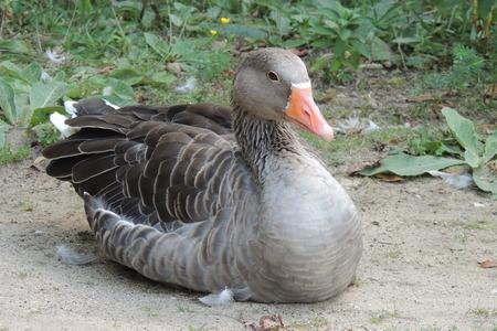anser: Greylag goose, Anser anser Stock Photo