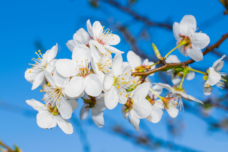 blossoming plum against the blue sky