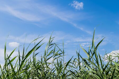 Field with green wheat and blue sky 免版税图像