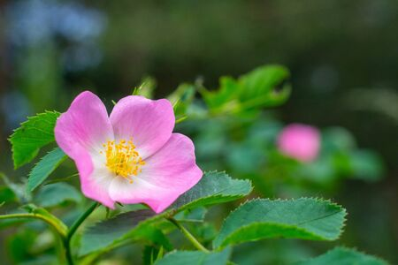 pink flowers of wild rose Banque d'images