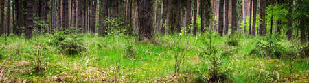 panorama of coniferous summer forest on a cloudy day