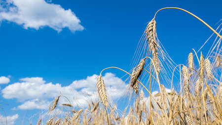 ears of ripe barley against the blue sky 스톡 콘텐츠