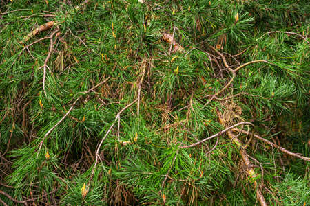 green pine branches with cones