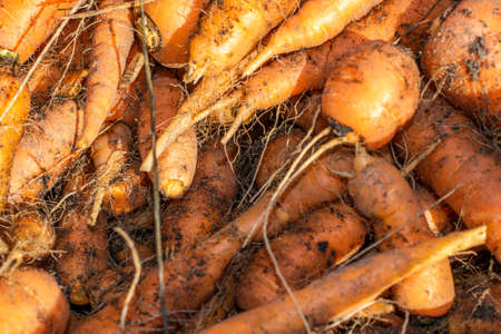 orange carrots soiled with earth with visible detail