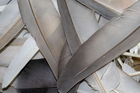 brown and white pigeon feathers. background or textura