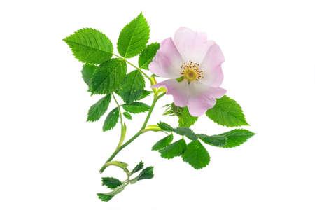 wild rose flowers on white isolated background