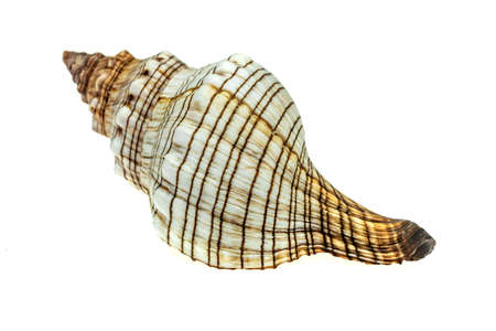 the shell of a sea snail on a white isolated background Standard-Bild