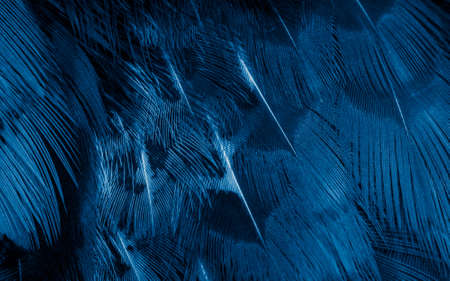 blue pheasant feathers with a visible texture. background Standard-Bild