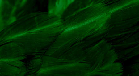 macro photo of green hen feathers. background or textura