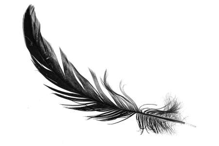 a black feather on a white isolated background