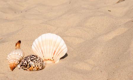 shells of sea snails on sand. background Standard-Bild