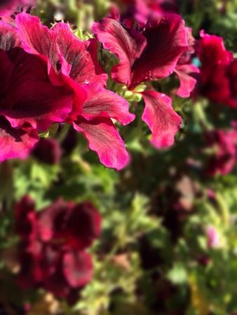Red flower with blurry background 版權商用圖片