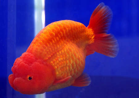 lion head goldfish Stock Photo - 16500970