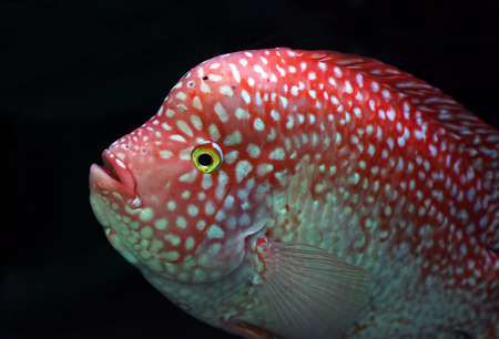 cichlid Stock Photo - 16500995