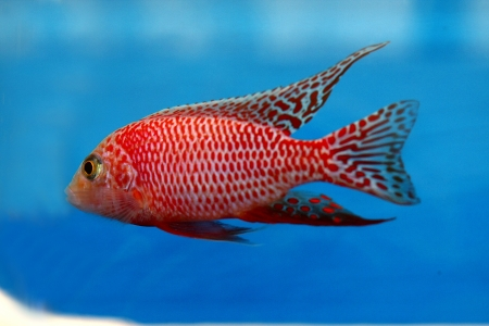 cichlid Stock Photo - 16501036