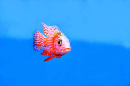 cichlids: cichlids Stock Photo