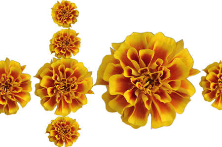 french marigold isolated Stock Photo