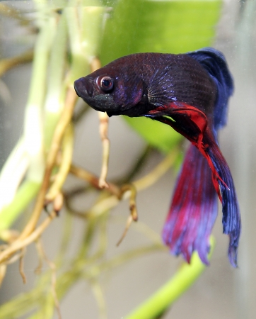 siamese fighting fish Stock Photo - 19757256