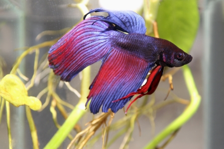 siamese fighting fish Stock Photo - 19757282