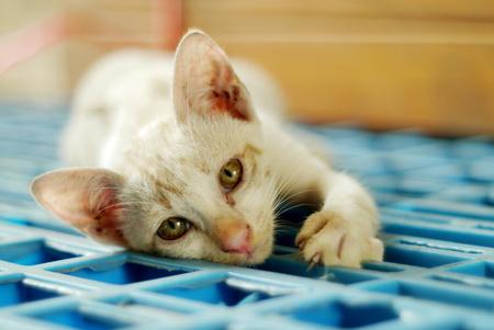 portrait a siamese cat Stock Photo