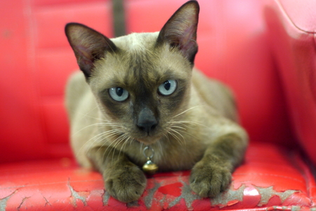 portrait a siamese cat Stock Photo