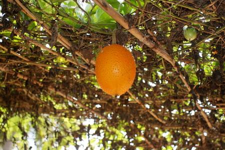 gac fruit herb