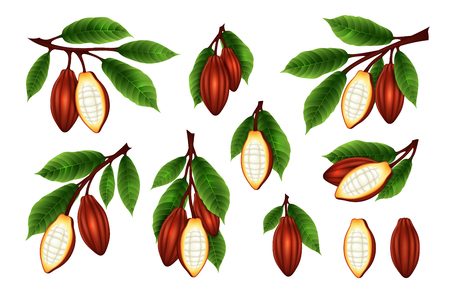 Cocoa beans branches collection. Vector isolated illustration in realism style.