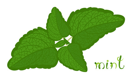 Green mint. Illustration of twig with fresh mint leaves. Cartoon aromatic herb. Clip art with cute title text. Isolated on white background. Illustration