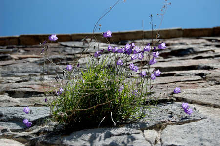 the campanulas growing from the rock, as a symbol to freedom photo