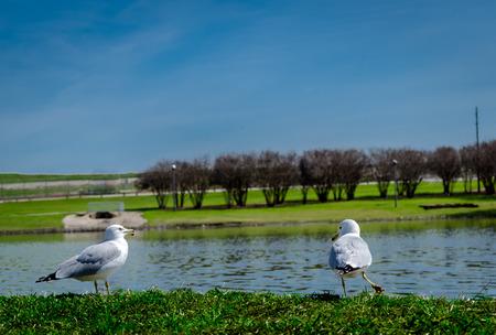 Two california gull enjoying at Lake