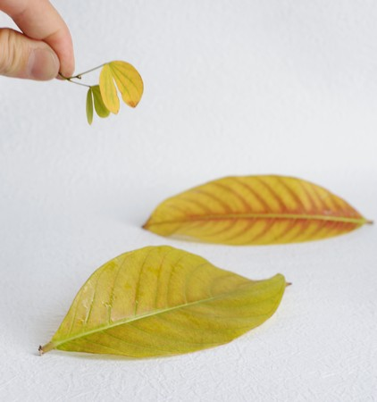 White background in the two yellow leaves 免版税图像