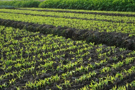 transplants: Spring vegetable plots of Vegetables