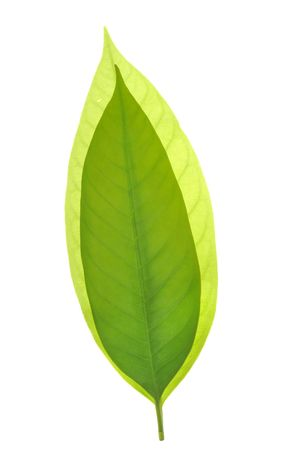 Two piece of leaves in white background Stock Photo