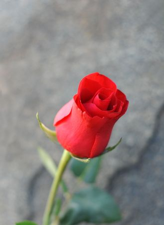 closeups: Close-ups of roses