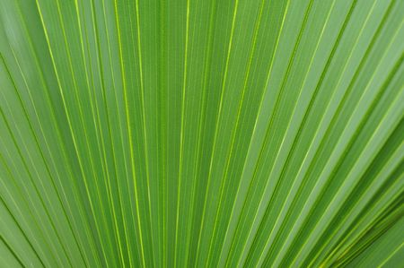 Macro image of a beautiful tropical palm leaf Stock Photo - 4725929