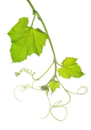 Tender green leaves on white background Stock Photo