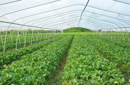 cultivation: Greenhouse cultivation