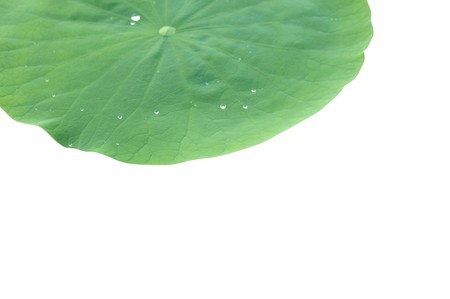 water drops on leaf: Water drops on lotus leaf Stock Photo