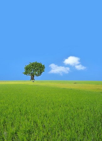 Beautiful summer landscape with a single tree in green rice paddy Stock Photo - 7233255