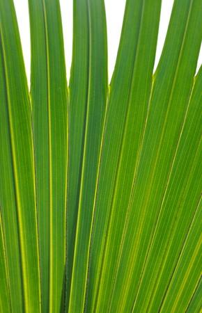 Macro image of a beautiful tropical palm leaf  Stock Photo - 7233253