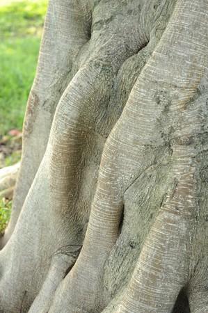 banyan: Banyan Tree Stump Stock Photo