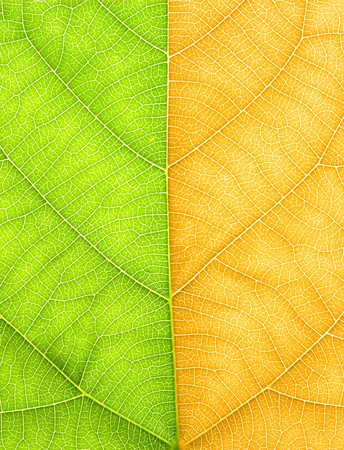 Half green half yellow leaves Stock Photo