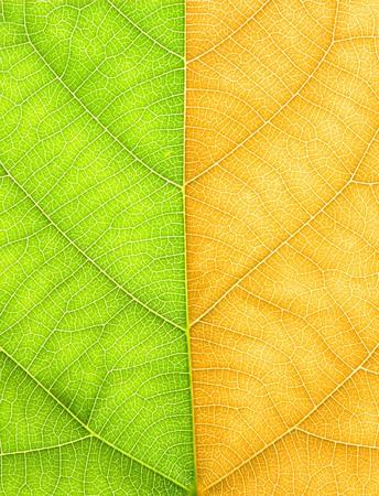 Half green half yellow leaves Stock Photo