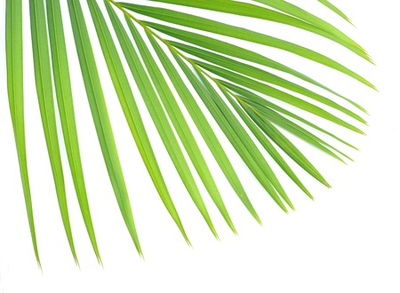 green palm tree leaves photo