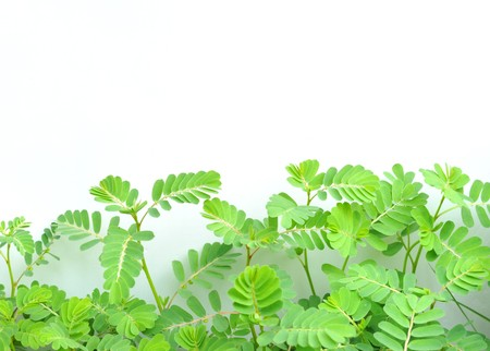 Mimosa pudica in white background