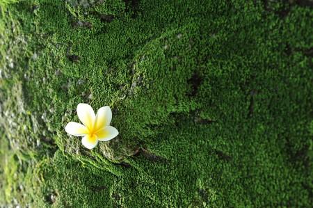 magnolia flower on moss background Stock Photo