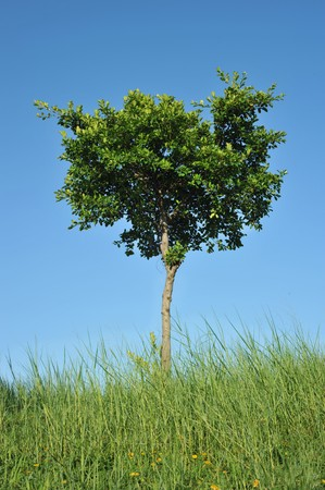 A tree isolated in blue sky background