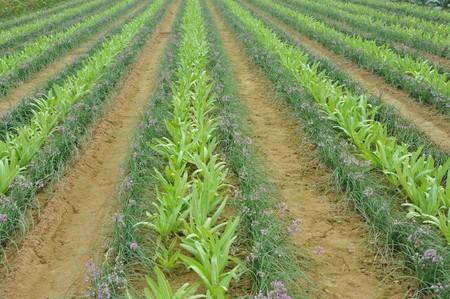 Vegetable plot landscape