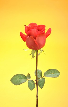 Beautiful single red rose isolated on yellow background