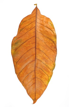 withered: Withered leaf on white background